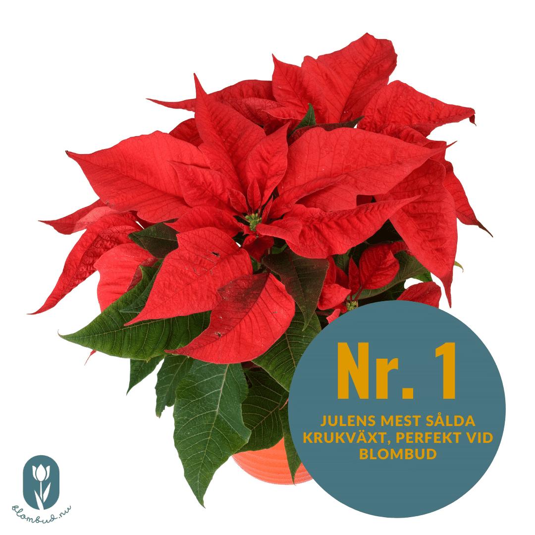 Röd julstjärnan är julblomman som är populärast som blombud.