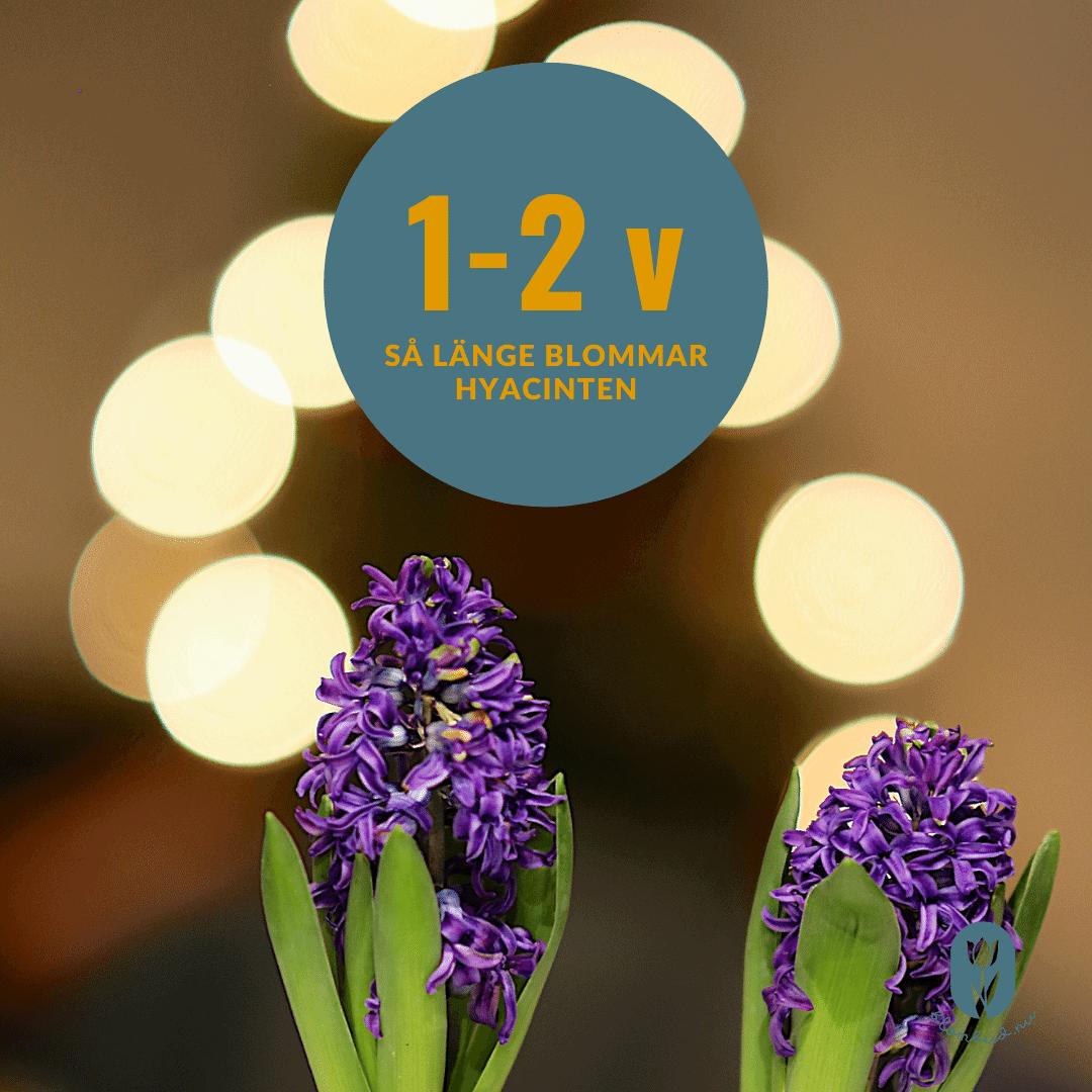 Hyacinten på bilden är i full blom i ca en till två veckor.