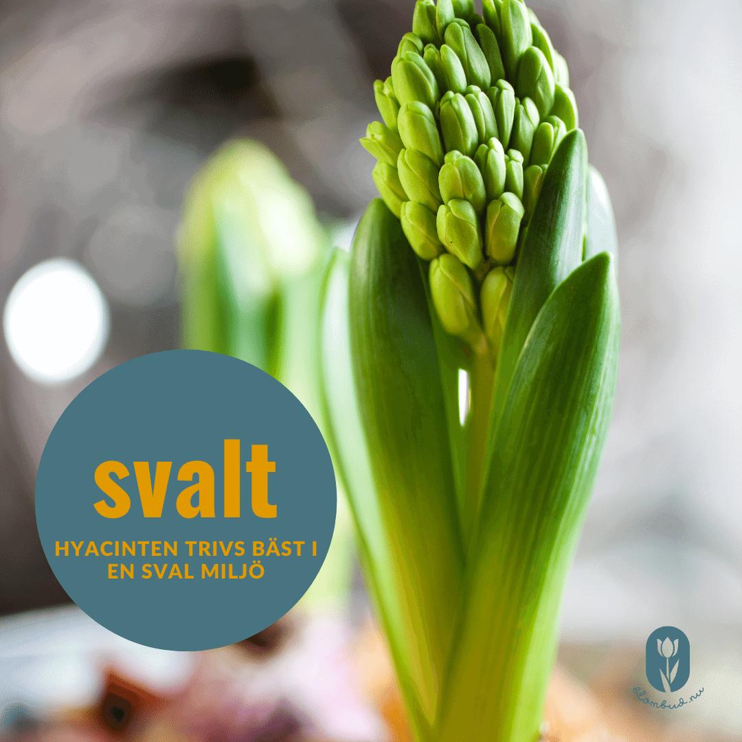 En hyacint tycker om sval miljö.